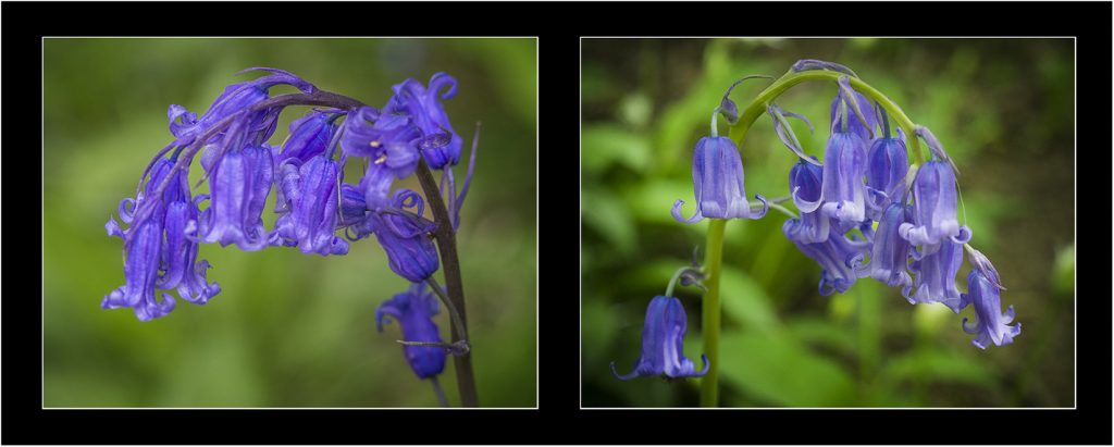 Bluebell Diptych