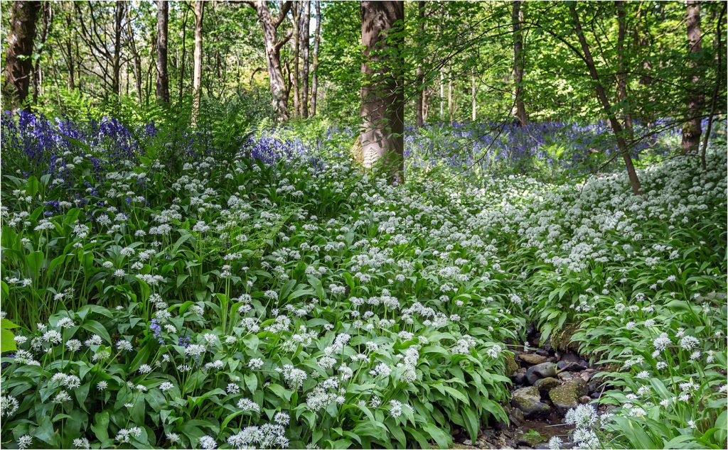 Wild Garlic in Spring Wood