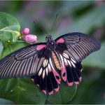 Great Mormon Butterfly