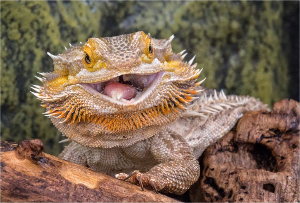 Laughing Bearded Dragon