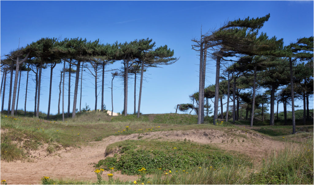 Pine Trees at Formby