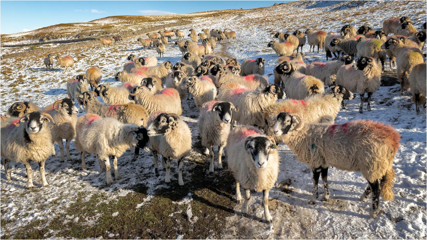 Sheep At Trow Gill