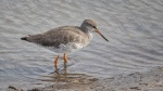 Redshank at Titchwell Marsh