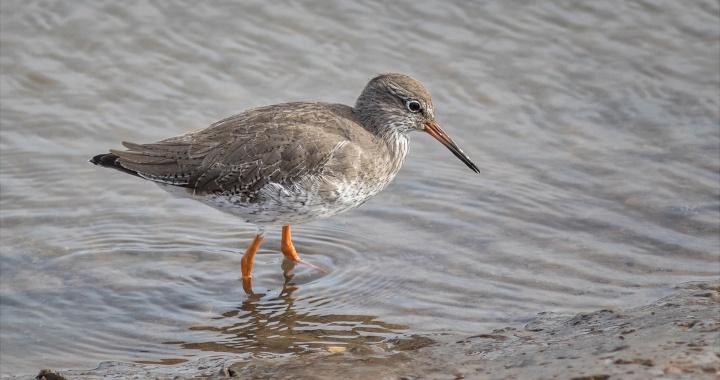 Redshank at Titchwell Marsh